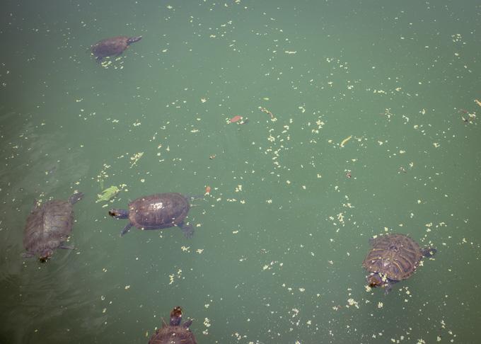Turtles in Turtle Pond, Central Park