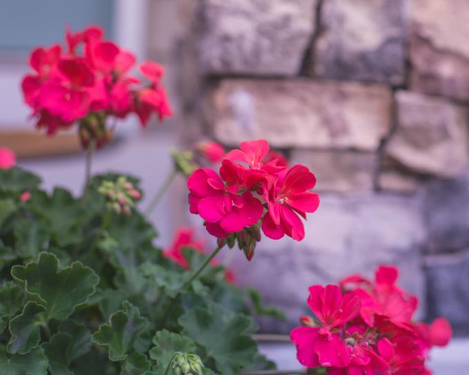 Pink geraniums near the house.