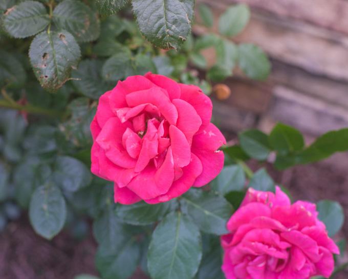 Fuchsia roses.