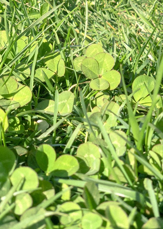 Four leaf clover on a sunny day